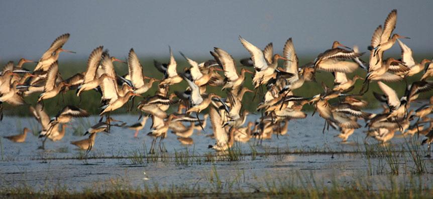 Migratory birds at Chilka lake